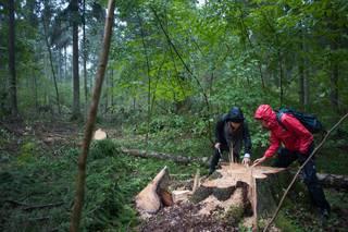 Kaceni stromu v Bialowiezskem pralese