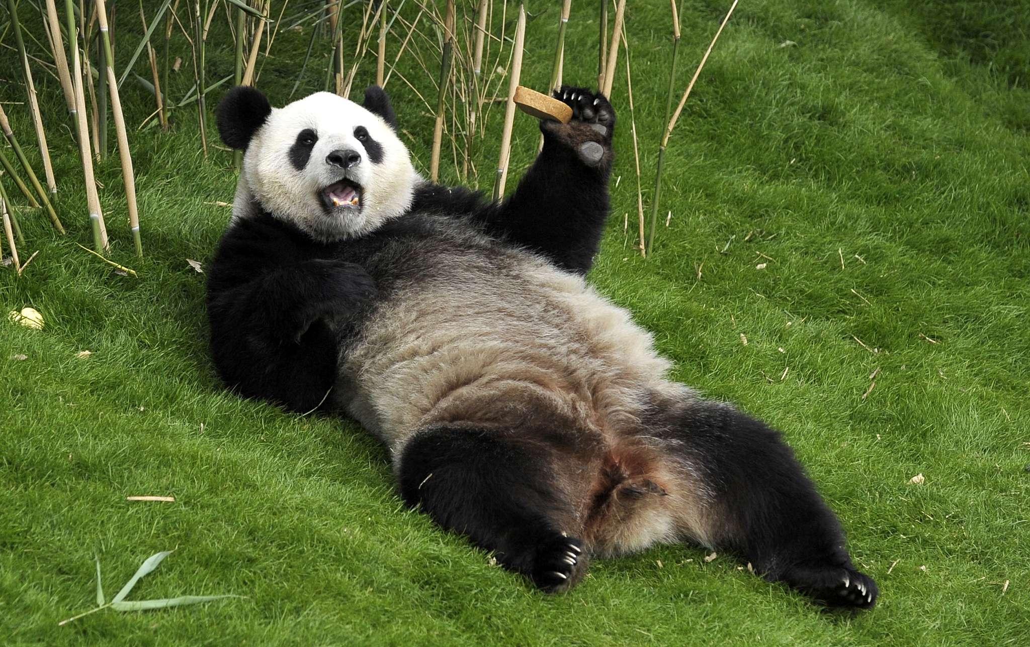 Панда прикол картинка, днем строителя прикольные